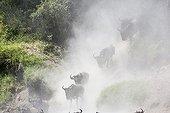 Gnous à barbe blanche traversant la Talek - Masaï Mara Kenya