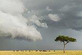 Gnous à barbe blanche avant l'orage - Masaï Mara Kenya