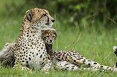 Cheetah and young lying in savanna - Masai Mara Kenya ; 6 weeks old cubs