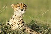 Portrait of Cheetah lying in savanna - Masai Mara Kenya
