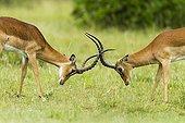 Impala males fighting in savanna - Masai Mara Kenya