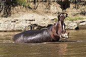 Hippopotame mâle baillant dans l'eau - Masaï Mara Kenya
