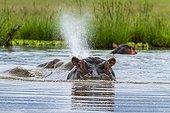 Hippopotame mâle soufflant dans l'eau - Masaï Mara Kenya ; après immersion