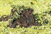 Hippopotame mâle dans les Laitues d'eau - Masaï Mara Kenya ; après immersion