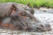 Hippopotame mâle dans la boue - Masaï Mara Kenya