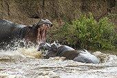 Hippopotames mâles combattant dans l'eau - Masaï Mara Kenya