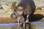 Hippopotame femelle protégeant son jeune - Masaï Mara Kenya
