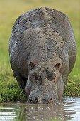 Hippopotame mâle couvert de boue - Masaï Mara Kenya
