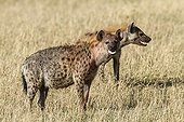 Spotted Hyenas in savannah - Masai Mara Kenya