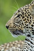 Portrait of leopard in the bush - Masai Mara Kenya