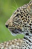 Portrait of leopard in the bush - Masai Mara Kenya