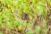 Leopard hiding in the bushes - Masai Mara Kenya