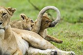 Lioness and cubs playing in savanna - Masai Mara Kenya