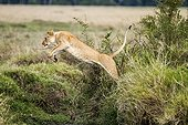 Lioness jumping over a ditch - Masai Mara Kenya