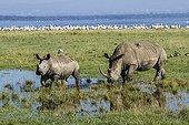 Rhinocéros blanc et jeune sur la berge - Nakuru Kenya