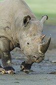 Rhinocéros blanc marchant sur la berge - Nakuru Kenya
