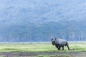 Rhinocéros noir sur la berge - Nakuru Kenya