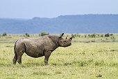 Rhinocéros noir dans la savane - Masaï Mara Kenya