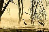 Grey Heron and Yellow-billed Stork - Lake Nakuru Kenya