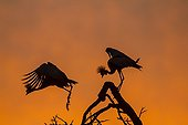 Crowned Cranes on branch at sunrise - Masai Mara Kenya