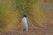 Rockhopper penguin carrying Tussac grass to build its nest
