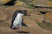 Rockhopper penguin carrying mud to build its nest - Falkland