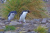 Rockhopper penguin and chick on rocks - Falkland Islands ; chick running after one of its parents to get food