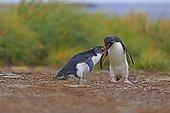 Rockhopper Penguin feeding her chick - Falklands Islands