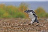 Young Rockhopper Penguin moulting - Falklands Islands