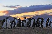 Rockhopper penguins resting after fishing - Falkland Islands