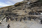 Rockhopper penguins climbing a cliff - Falkland Islands ; with the help of its claws and beak