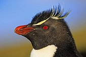 Portrait of Rockhopper Penguin - Falkland Islands