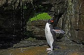 Rockhopper Penguin showering under a cliff - Falklands