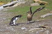 Rockhopper penguin chasing a Labbe of the colony - Falklands