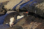 Rockhopper penguin drinking from a small source - Falkland Islands