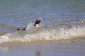 Rockhopper penguin landing on a beach - Falkland Islands
