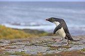 Rockhopper penguin walking on shore - Falkland Islands ; returning from fishing