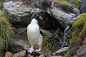 Rockhopper penguin on rock near sources - Falkland Islands