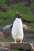 Rockhopper penguin on rock - Falkland Islands