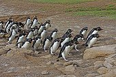 Rockhopper penguins walking on the shore - Falkland Islands ; returning to their colony after fishing