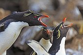 Rockhopper Penguin shouting in the colony - Falkland Islands ; ending up after fishing