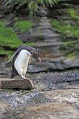 Rockhopper penguin preparing to jump from a rock - Falklands