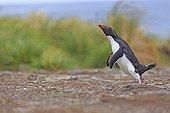 Rockhopper penguin jumping on ground - Falkland Islands