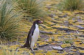Rockhopper penguin walking on rocks - Falkland Islands