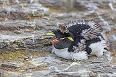 Rockhopper penguin moulting lying on rock - Falkland Islands