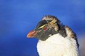 Portrait of Rockhopper penguin moulting - Falkland Islands