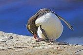 Rockhopper penguin scratching his legs - Falkland Islands