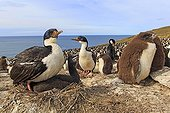 Colony of Rockhopper penguins and White-bellied Cormorants