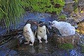 Gorfous sauteurs et jeune Albatros à sourcils noirs au nid