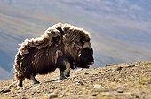 Muskox walking in the tundra - Greenland